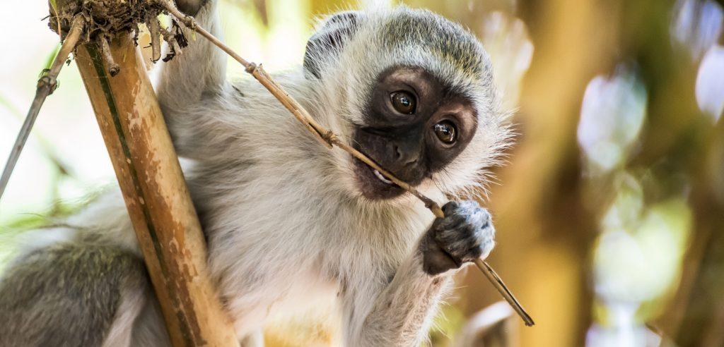 Kruger Park Self Drive Holiday - vervet monkey