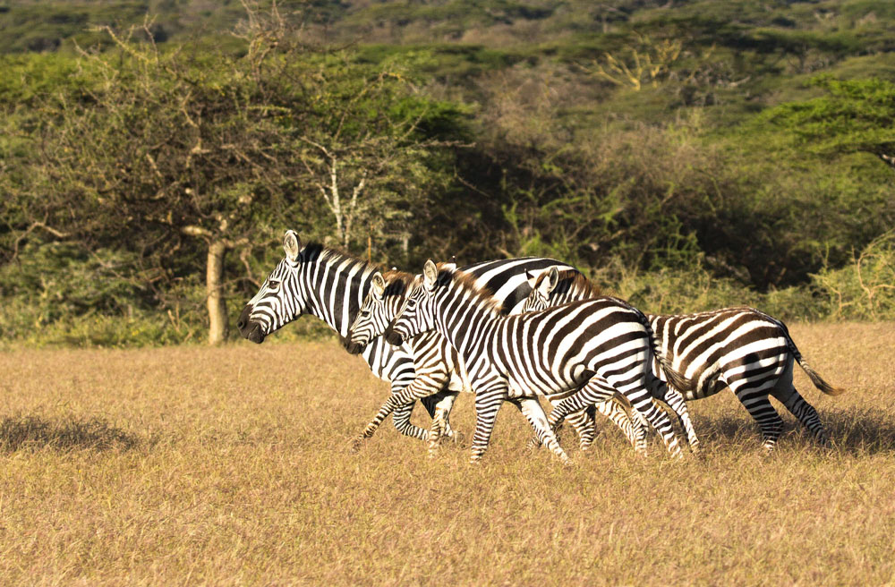 South Africa After COVID19 - Zebra
