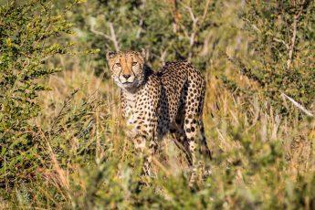 Cheetah in Madikwe Game Reserve
