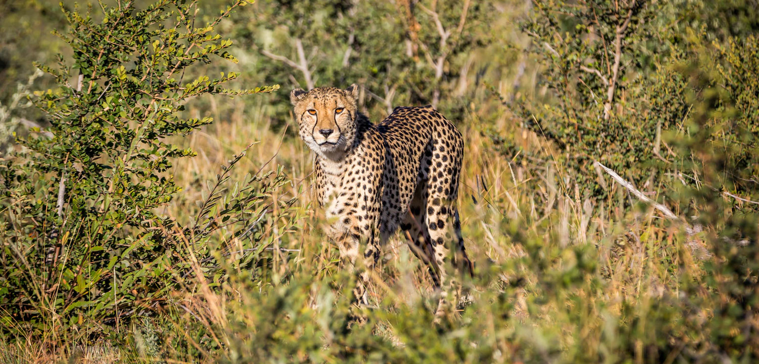 Cheetah in Madikwe Game Reserve
